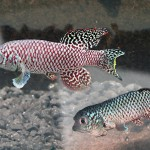Nothobranchius_Simposium_image
