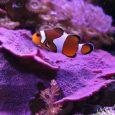 I coloratissimi Amphiprion ocellaris possono vivere in acquario per oltre venti anni. Il sequenziamento del genoma ha indicato come il segreto della loro lunga vita risieda nei mitocondri e nei lisosomi. La ricerca, che ha visto collaborare anche la Stazione Zoologica Anton Dohrn di Napoli, pubblicata sulla rivista BMC Evolutionary Biology.